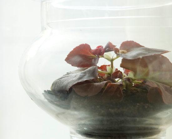 Roy the begonia in his apothecary terrarium.