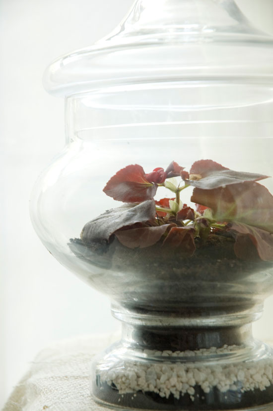 Roy the begonia in his apothecary terrarium.